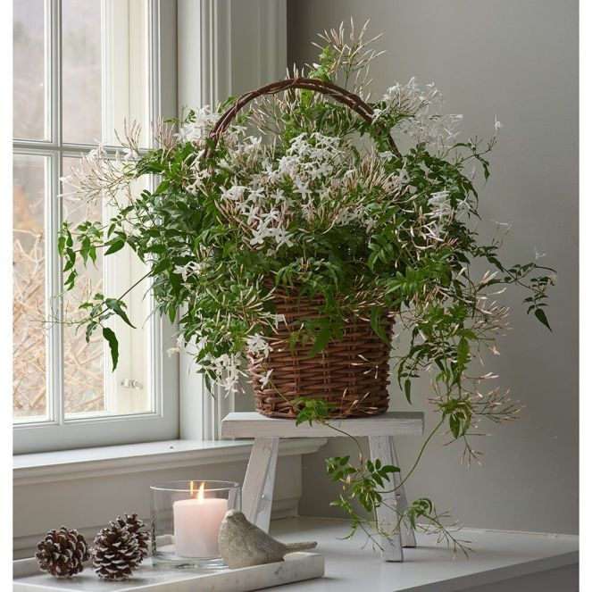 Indoor Flowers: Jasmine