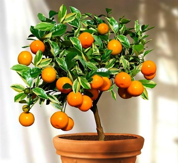 Indoor Plant: Calamondin