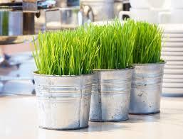 Indoor Grass: Wheatgrass