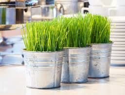 Indoor Grass: Wheatgrass