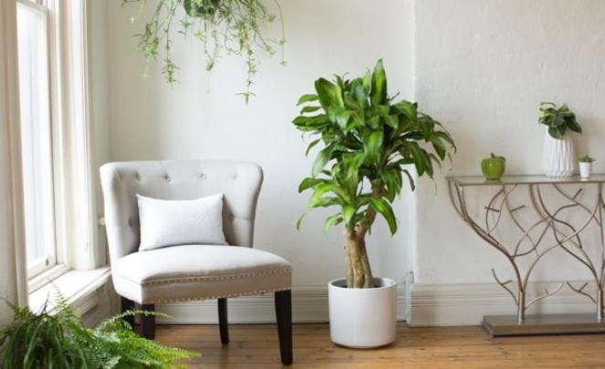 Indoor Plant: Dracaena