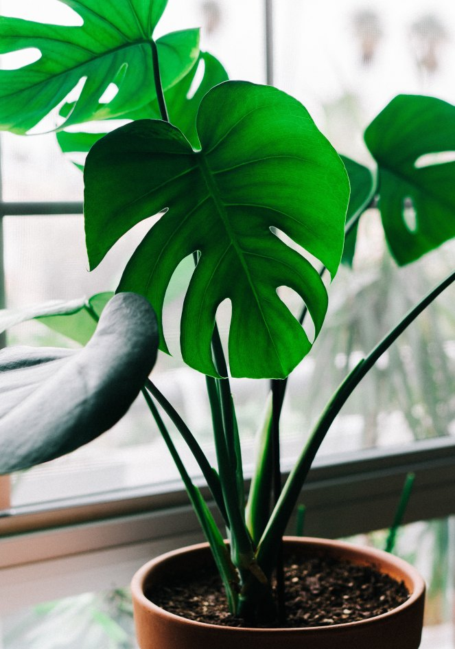 Indoor Plant: Philodendron