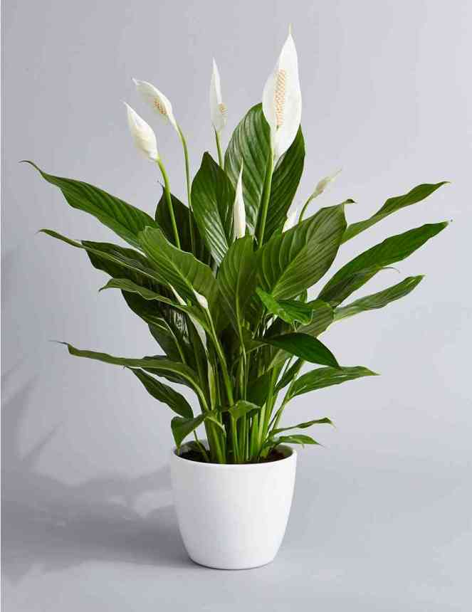 Indoor Flowers: Peace Lily